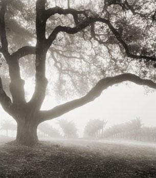 Vineyard tree